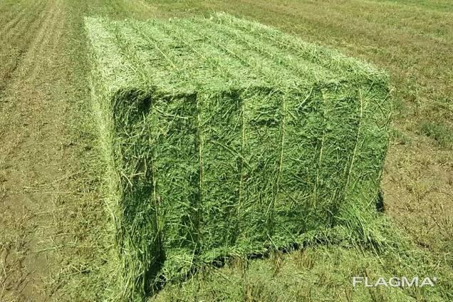 Alfalfa