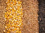 Зерно - пшеница, кукуруза, ячмень, просо, овес, рожь | Grain - photo 1